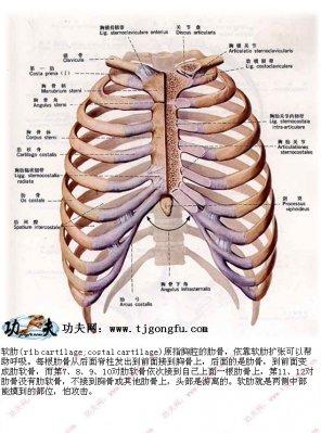 人体要害部位―软肋