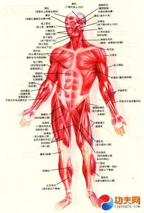 主要肌肉群的位置与功能